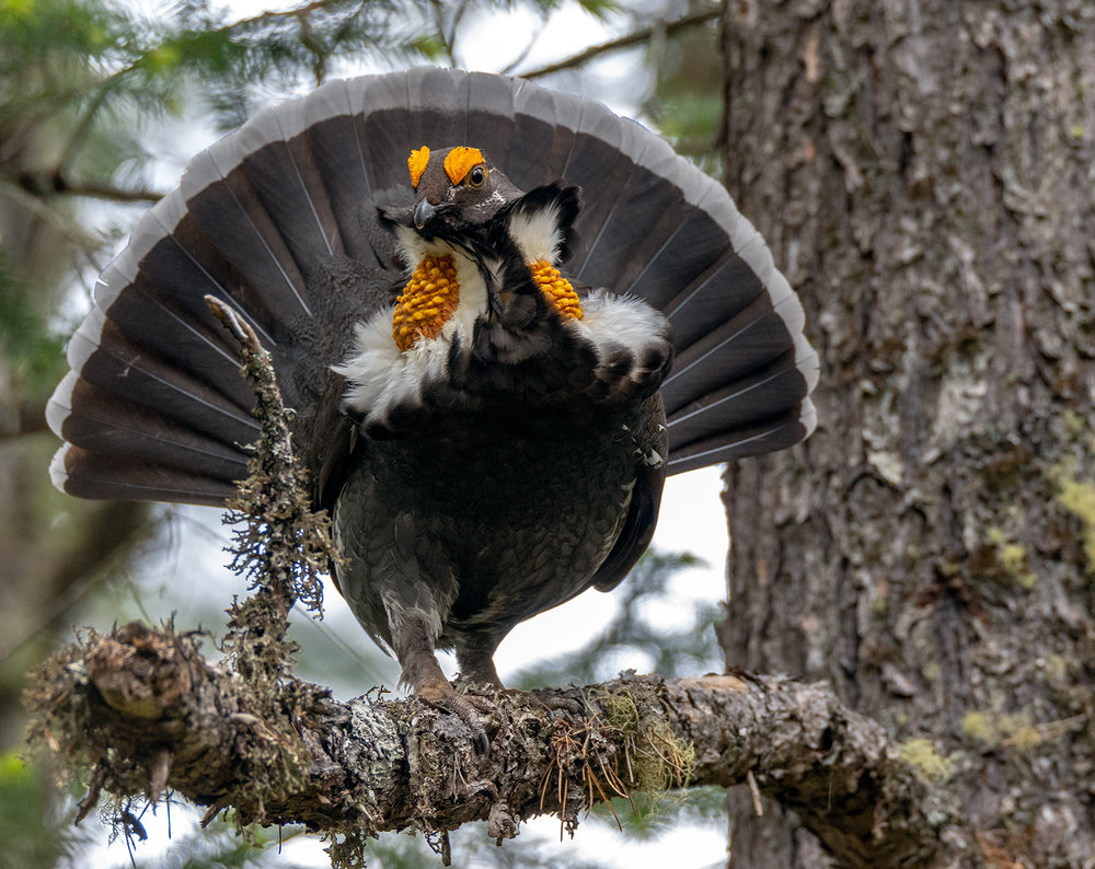 Horny Grouse.jpg