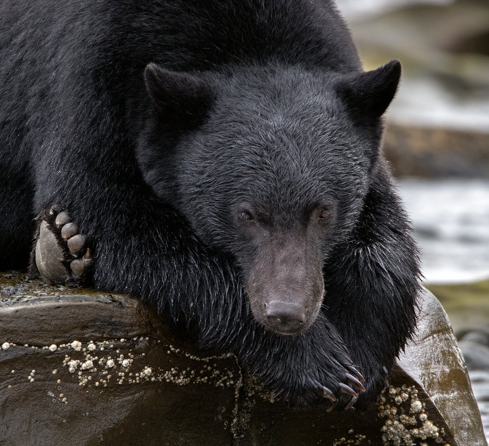 Keogh River Black Bear