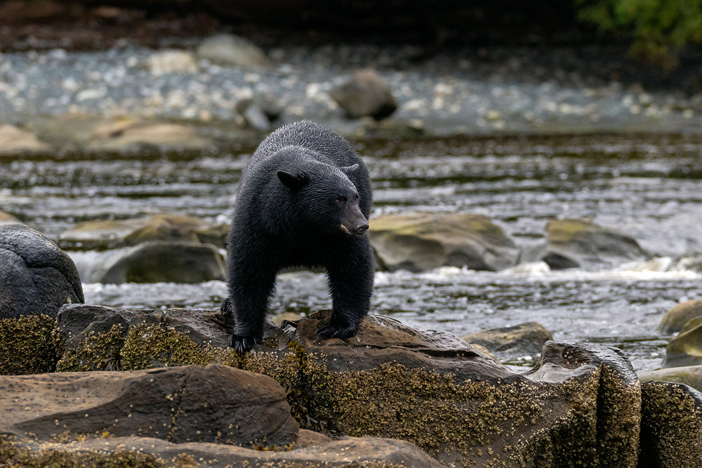 Keogh River Black Bear 015.jpg