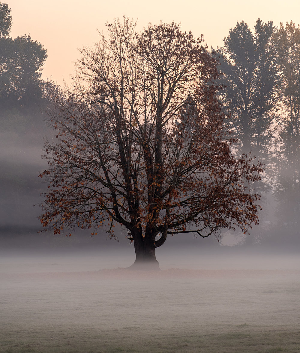 Foggy Maple.jpg