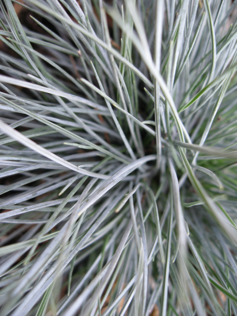 fescue closeup.jpg