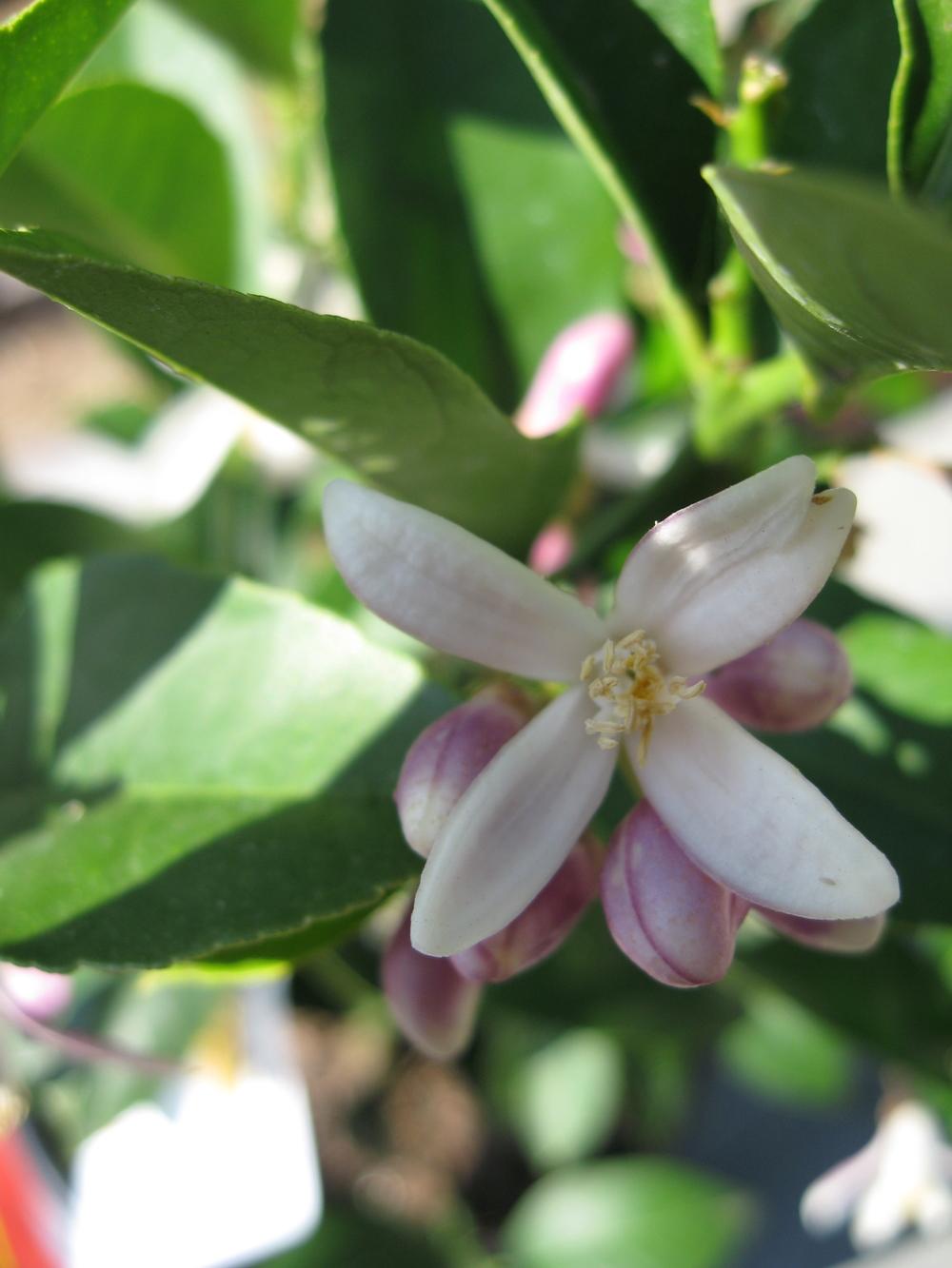 lime flower.jpg