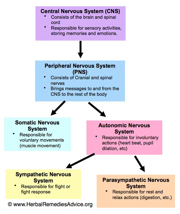 Your well being depends on your nervous system grow wise constant low grade stress or high intensity stress can lead to autonomic nervous system imbalance below is a diagram of the basic structure of the human ccuart Choice Image