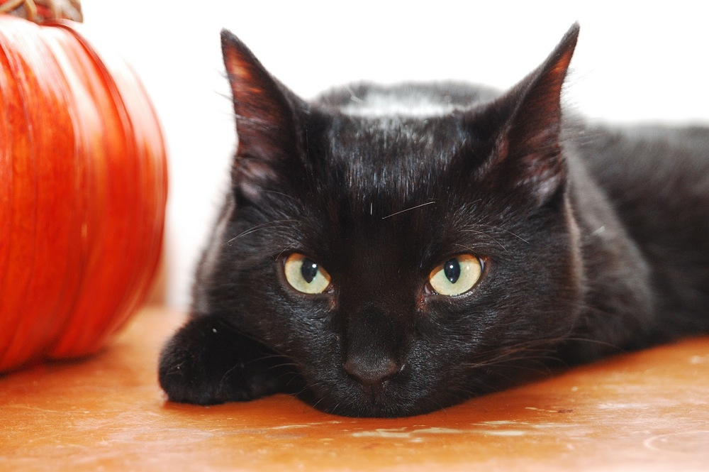 Black Kitties have more to offer beyond Halloween Lore!