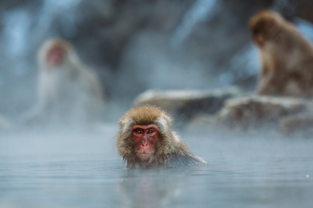 Yamanouchi Japan Monkeys Up