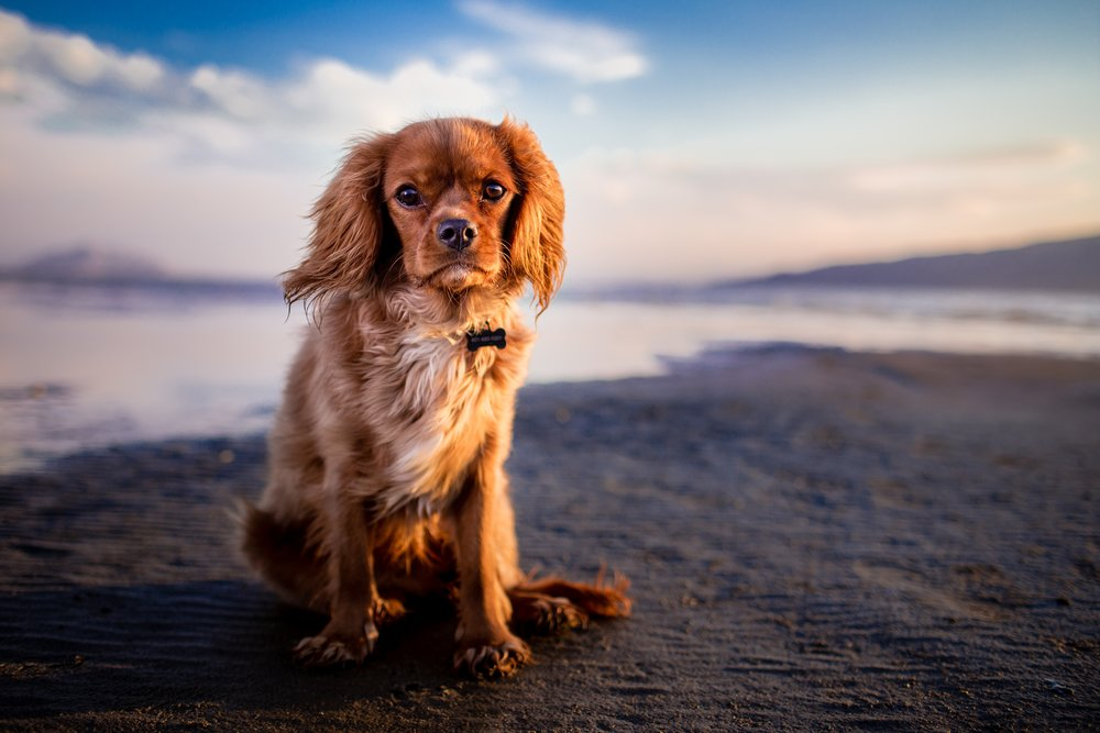 Andrew Branch Cocker Spaniel Puppy on Beach Up