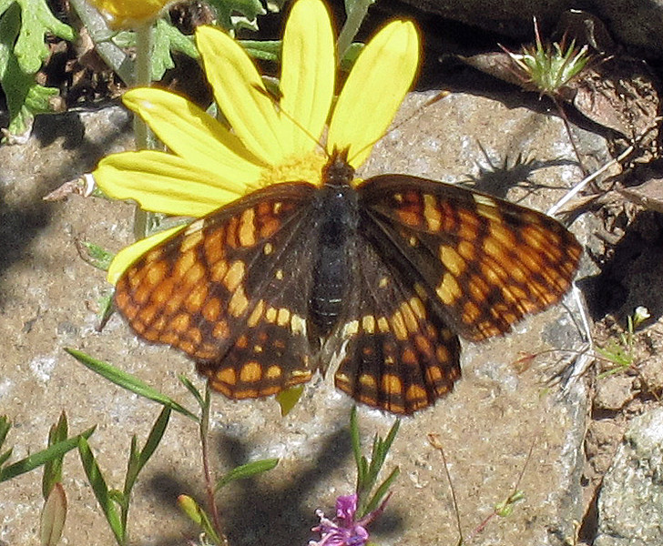 Hoffmann's Checkerspot