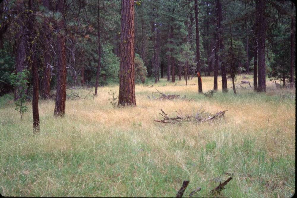 Dry Ponderosa Pine Meadow