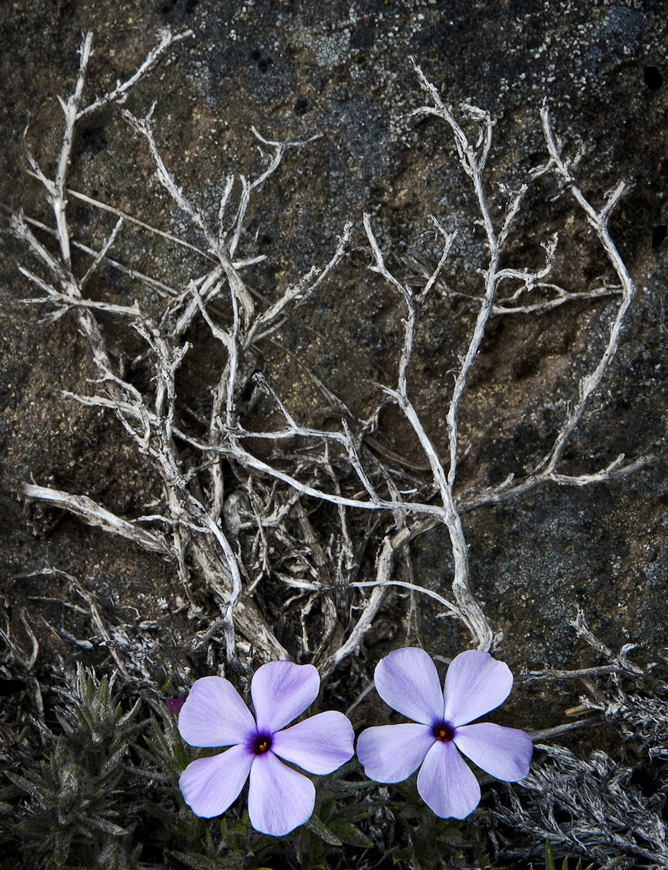 Phlox and dried wood © 2016 Matt Witt