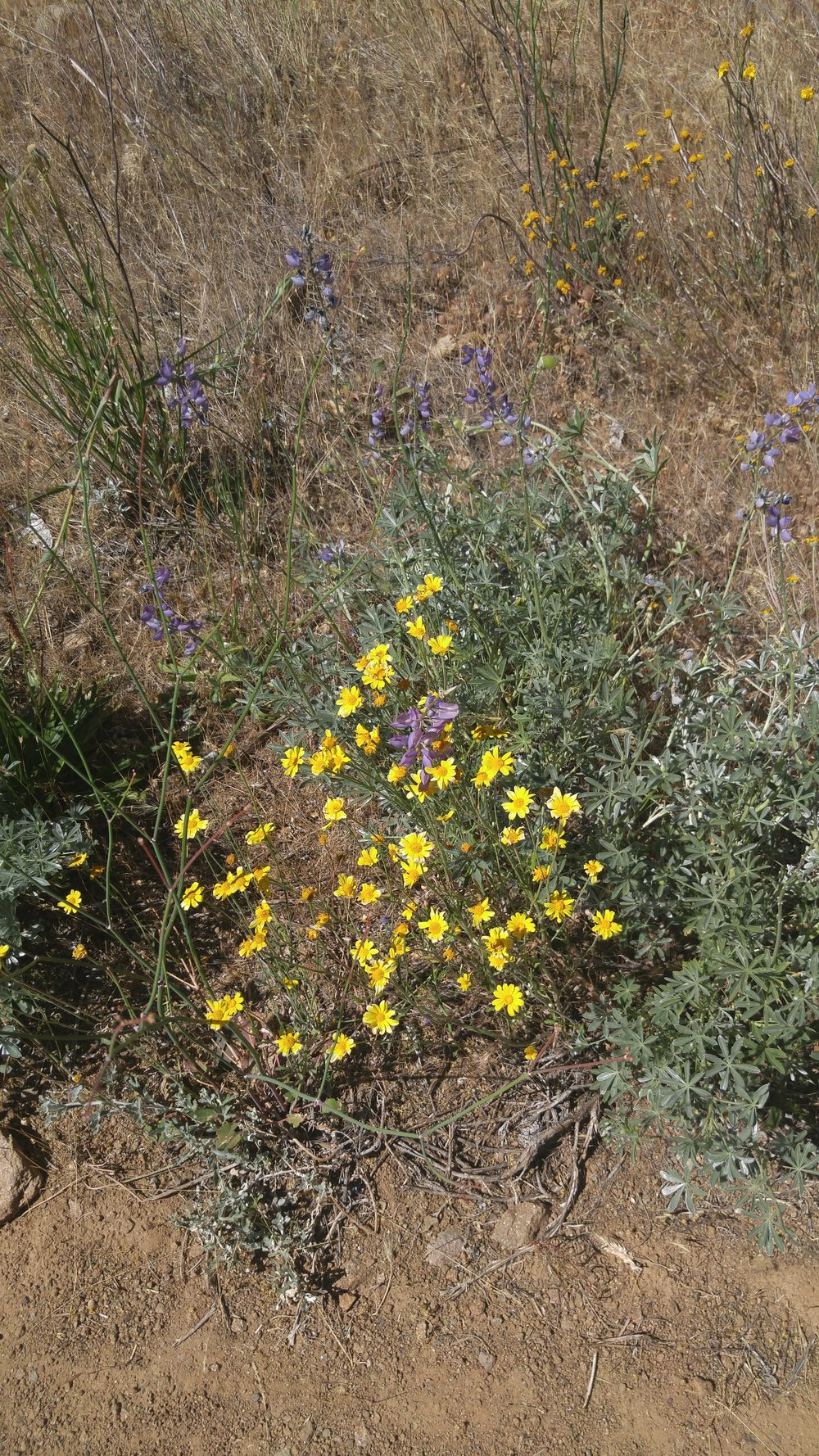 California sunshine ( Eriophyllum lanatum ) and lupine ( Lupinus argentus )