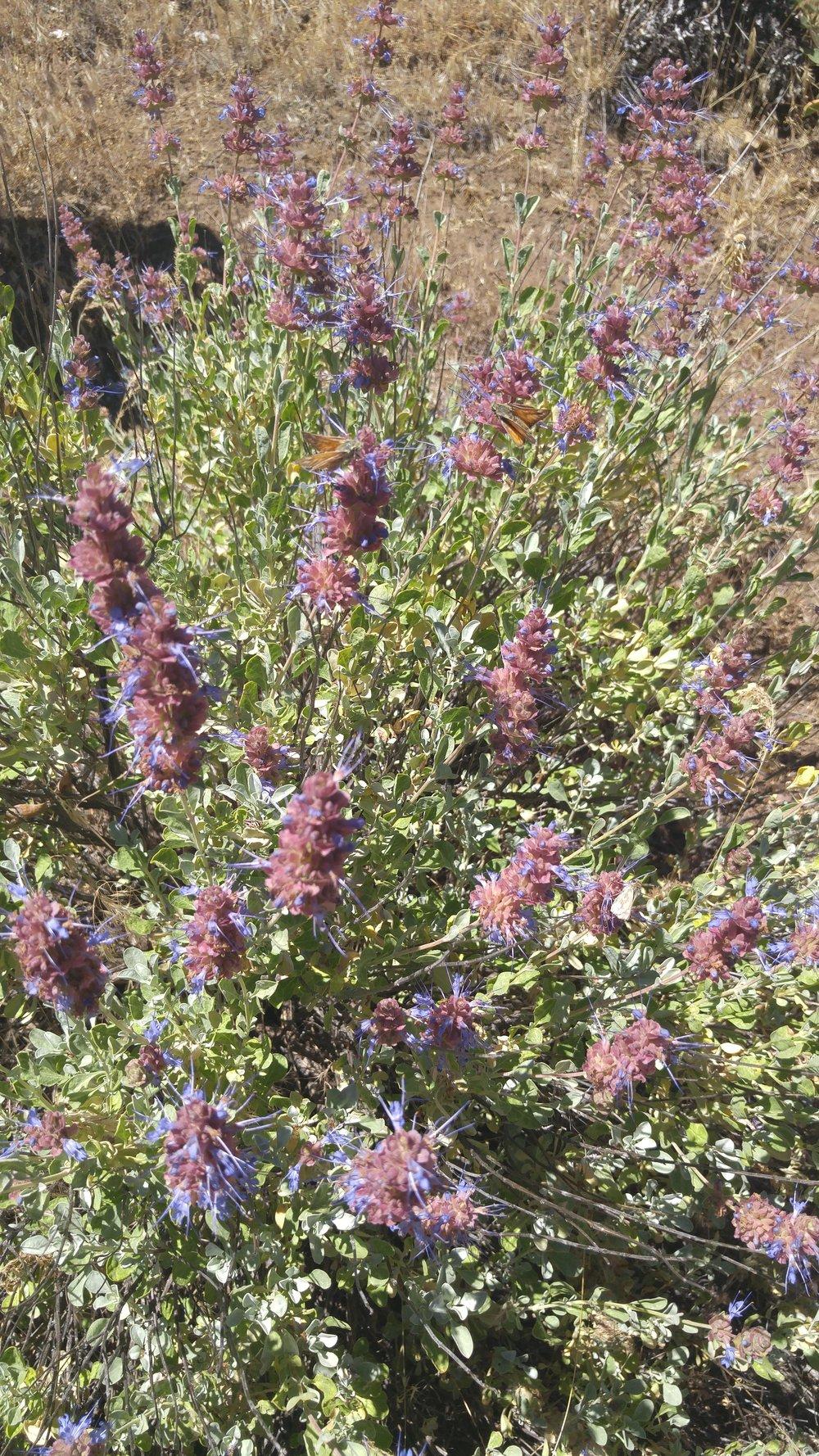 Desert sage ( Salvia dorrii )