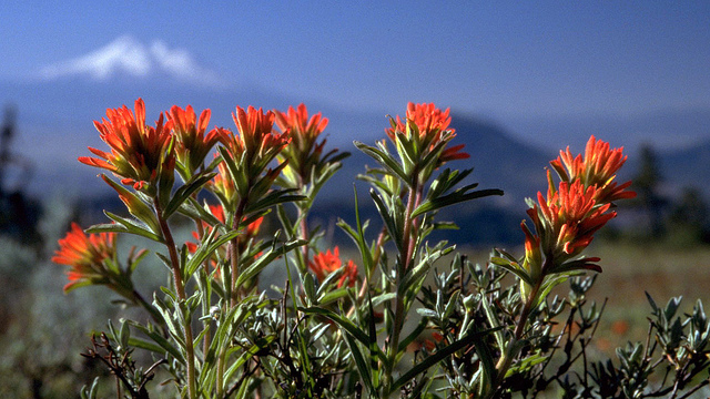 Indian Paintbrush. BLM photo
