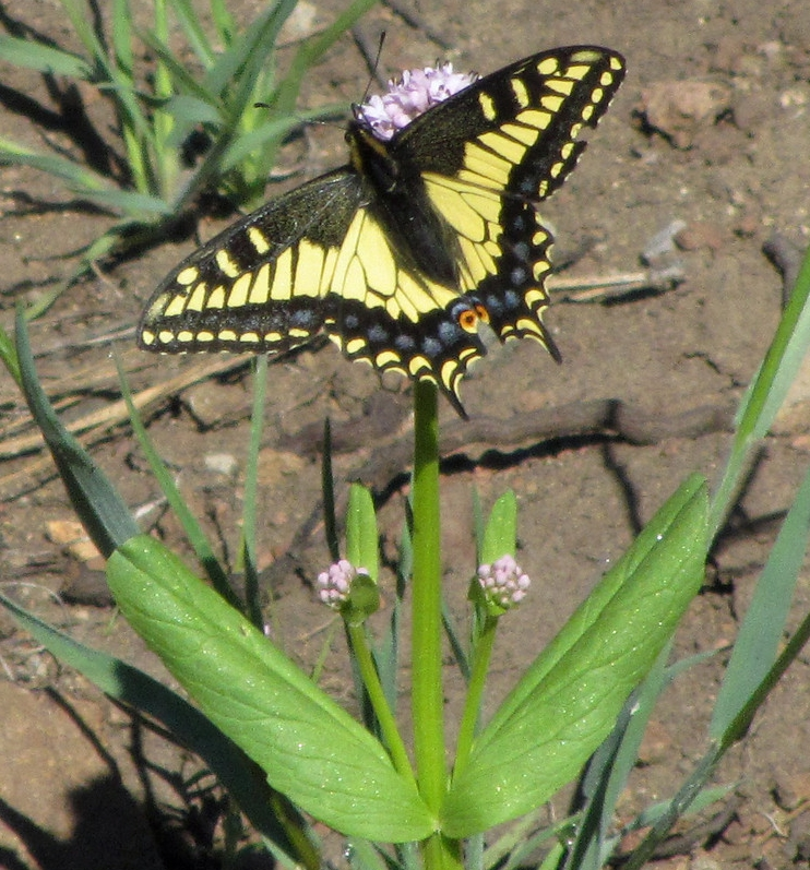 Swallowtail.           K Reynolds photo