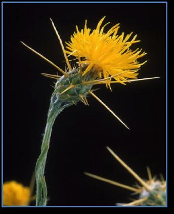 Starthistle ( Centaurea solstitialis )