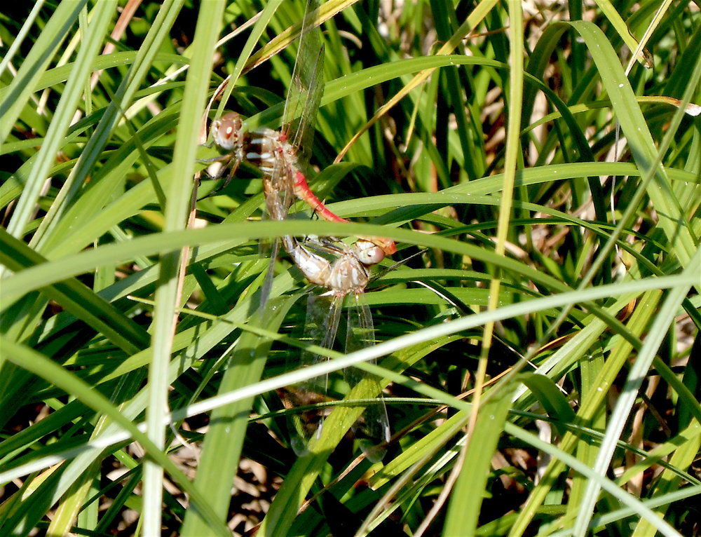 Mating striped meadowhawk pair