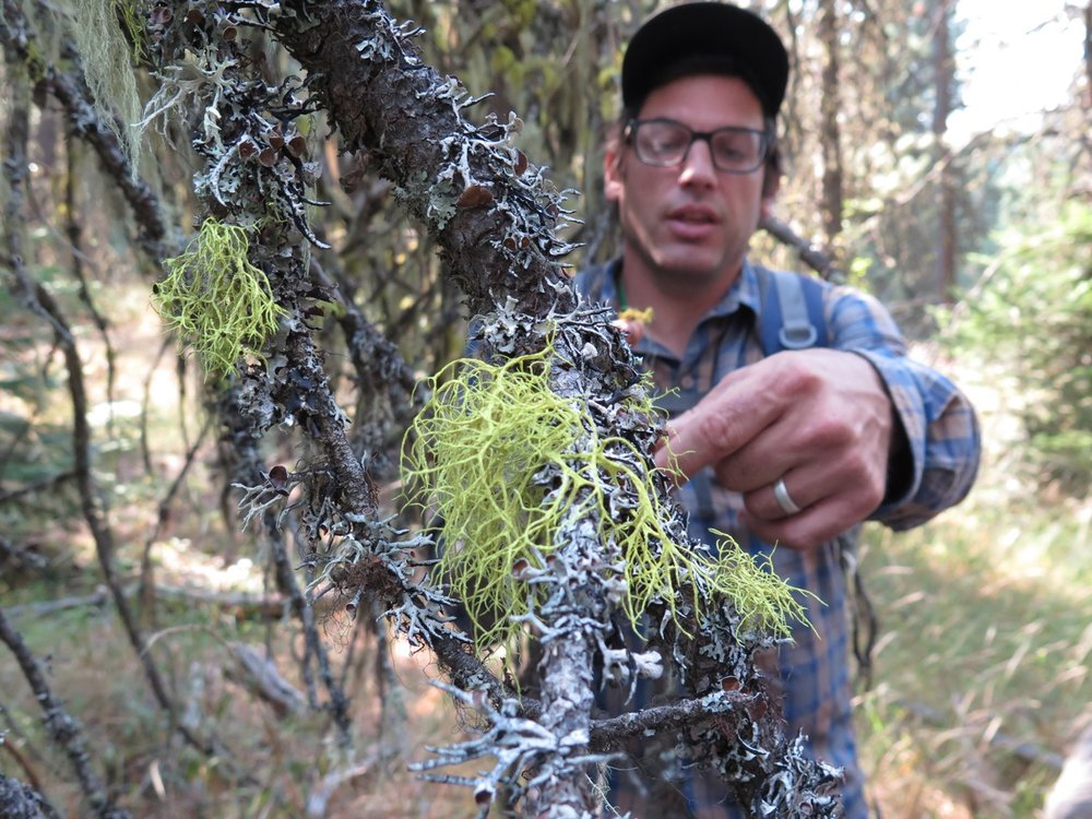 "Hike leader John Villella identifies macrolichens, such as  Letharia vulpina , a species of ""wolf lichen.""  E Thompson photo."