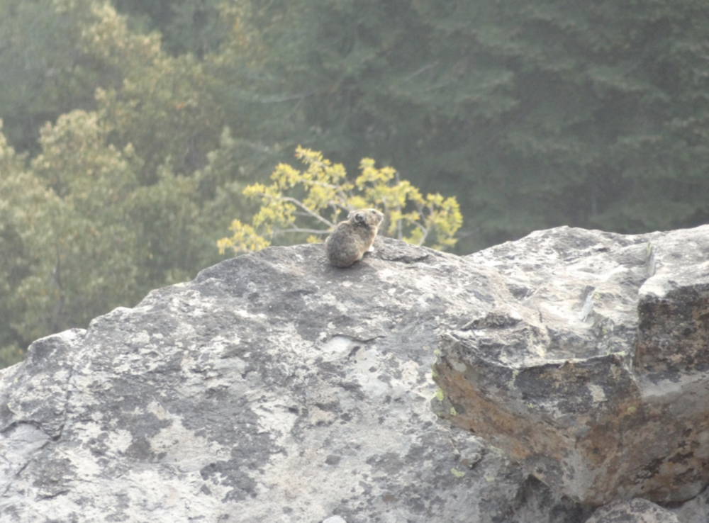 American pika  (Ochotona princeps)  on Vulture Rock. Photo by student researcher Neil Clayton