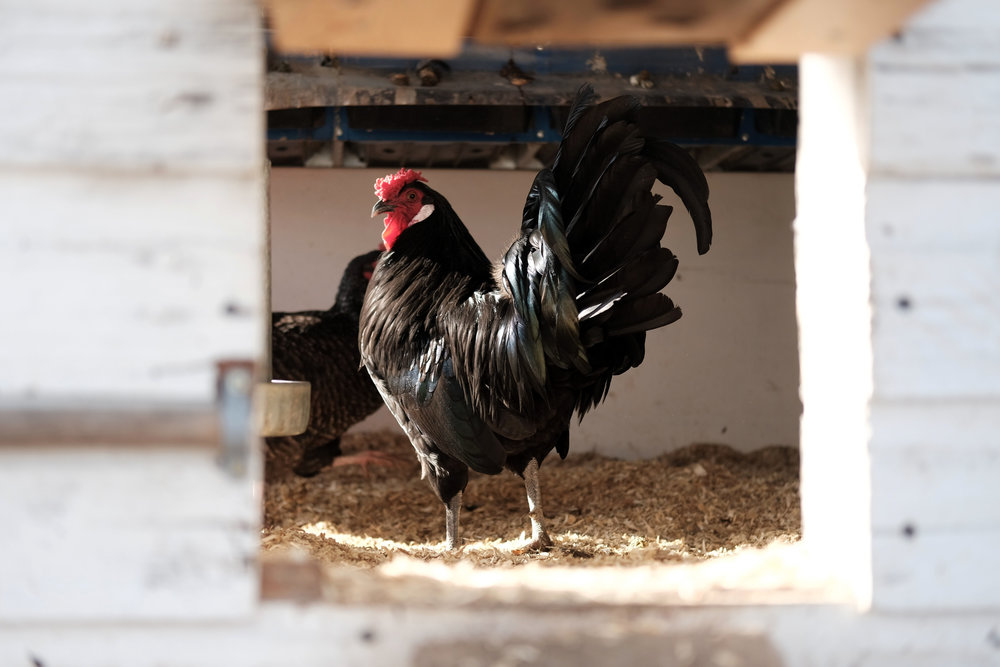 Heritage Breed:  Blue Hamburgh  aka the (suprise) rooster.