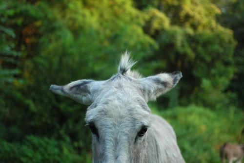 One of the donkeys.