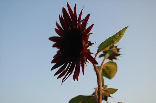 Sunflower in early August.