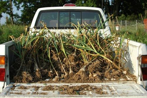 Harvesting garlic in July.