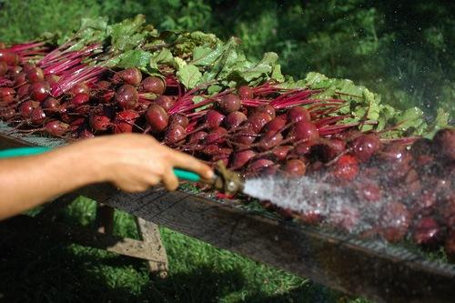 Washing Beets.