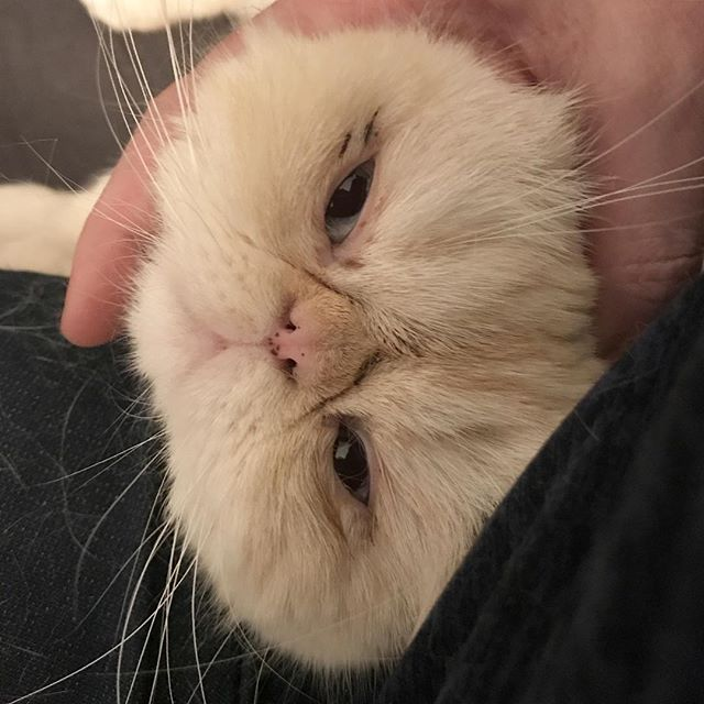 Look at this sweet face! 🐱👀🤣❤️✨ #sweet #exoticshorthair #kitteh #caturday #catsofinstagram Gus loves having his neck scratched and massaged, he just purrs and purrs.
