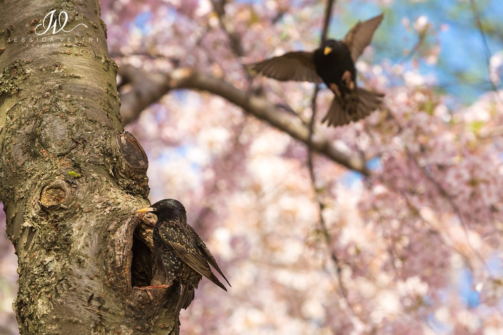 European Starling Bird at Cherry Blossom Washington, D.C.