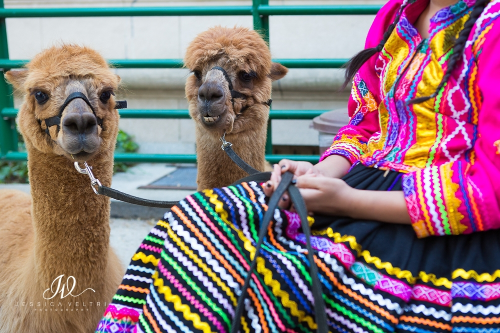 Llamas from the Peruvian Embassy