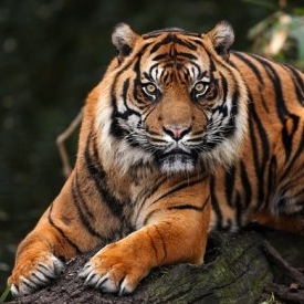 June 2015 // TIGERS