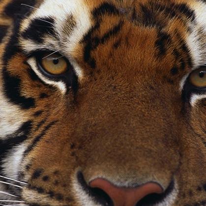 May 2015 // TIGERS