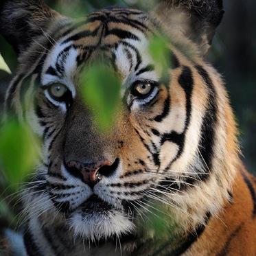 January 2015 // TIGERS