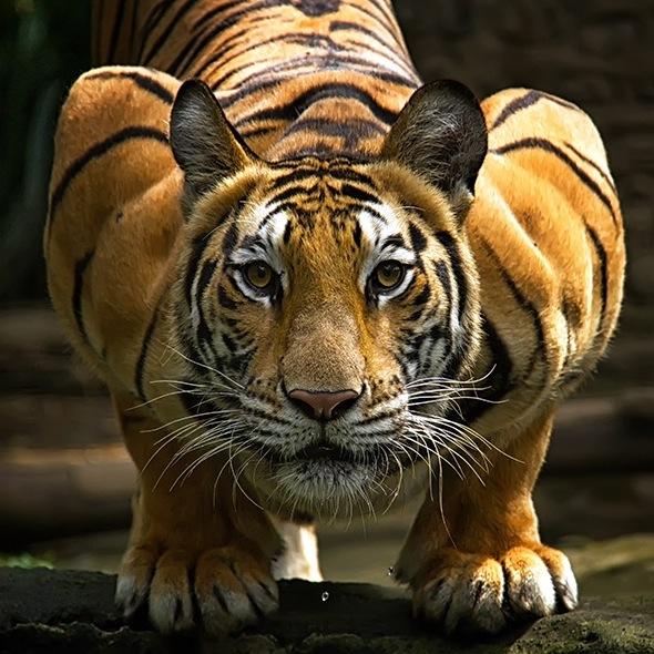 February 2015 // TIGERS