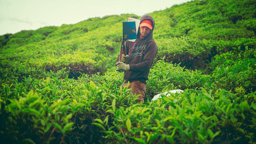 Tea Harvester