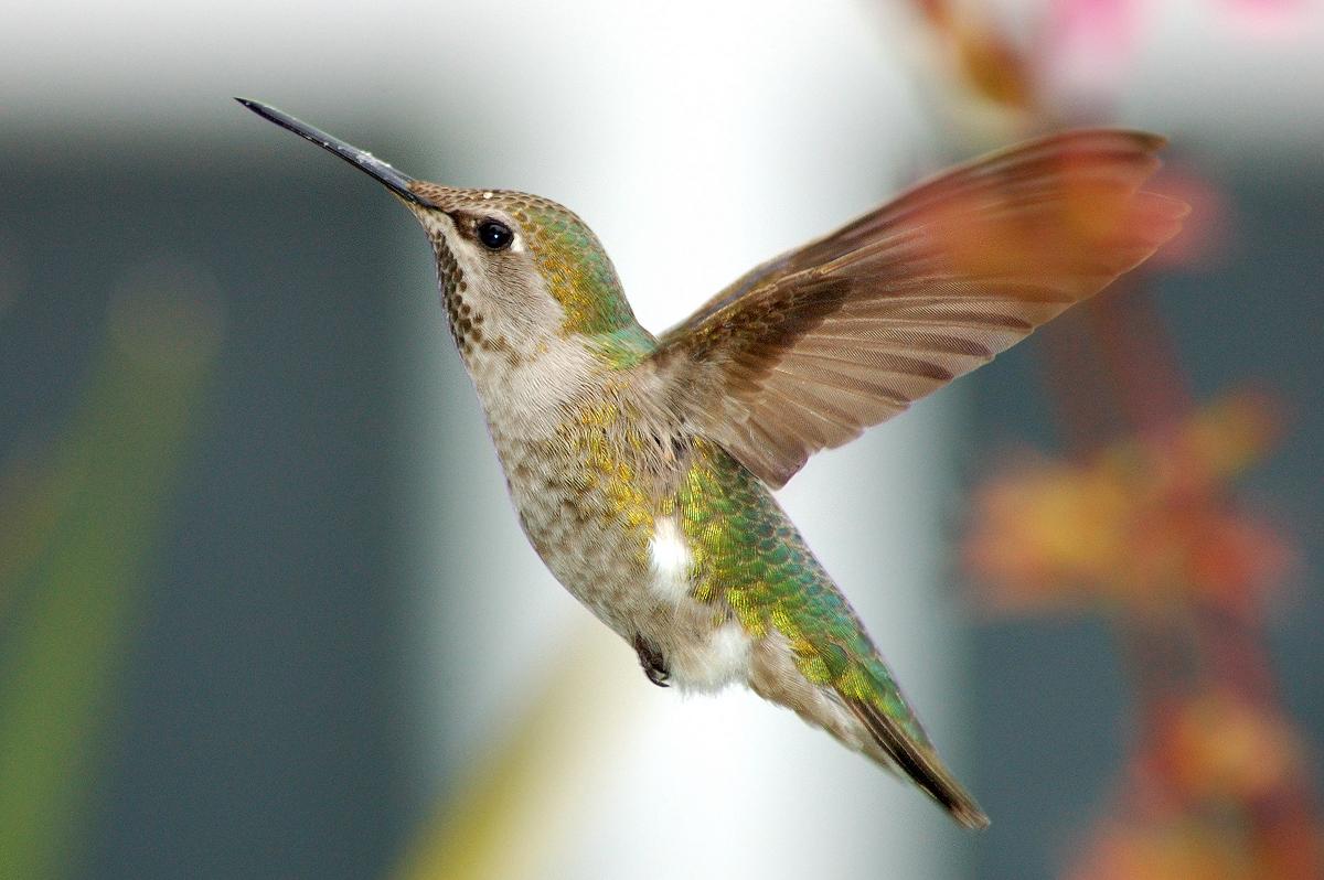 появилась красной фото колибри крупным планом должном уходе