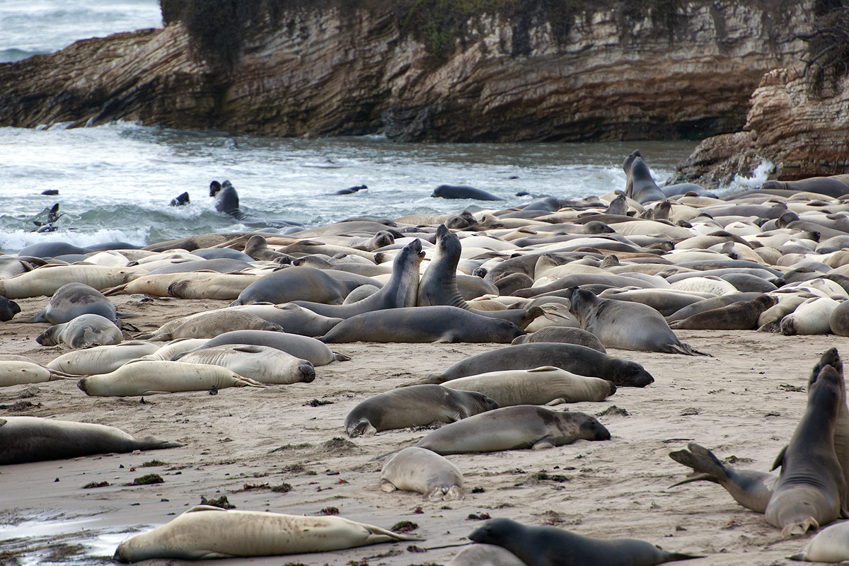 Año Nuevo Elephant Seals — KITUNDU