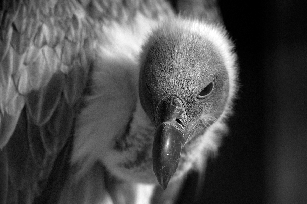 vulture2