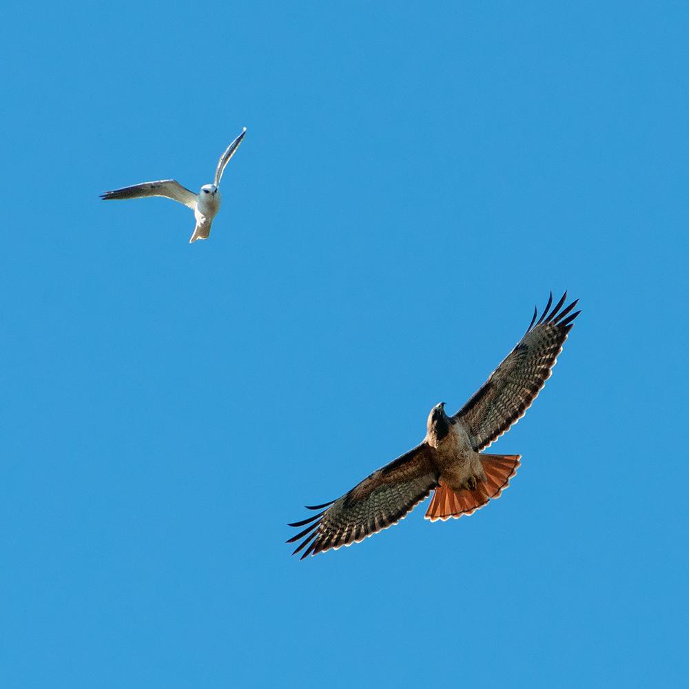 redtail kite.jpg