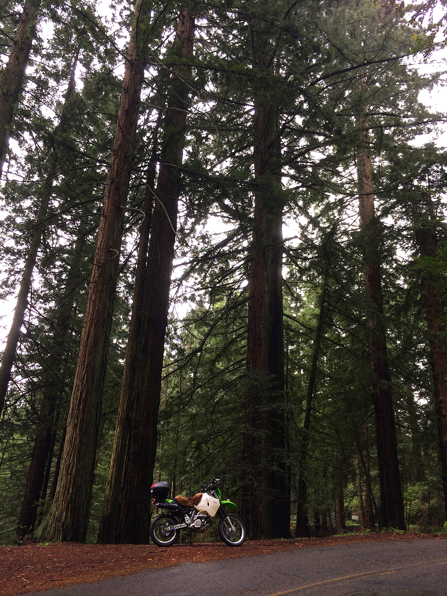 Redwood trees on Mount Tamalpais.
