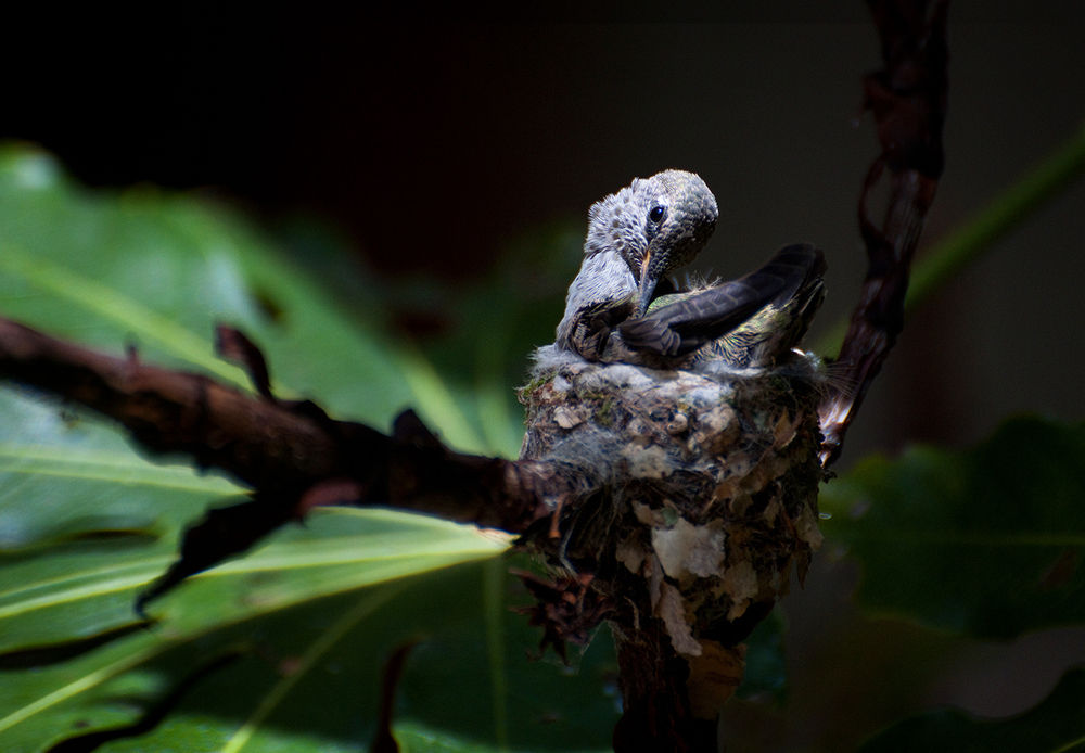 A baby Anna's Hummingbird preens before leaving the nest for the first time.
