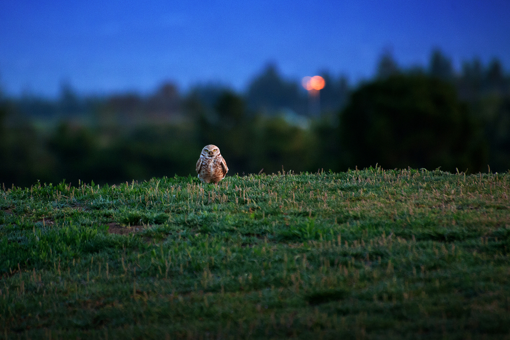A Burrowing Owl sentinel at dusk in Shoreline Park.