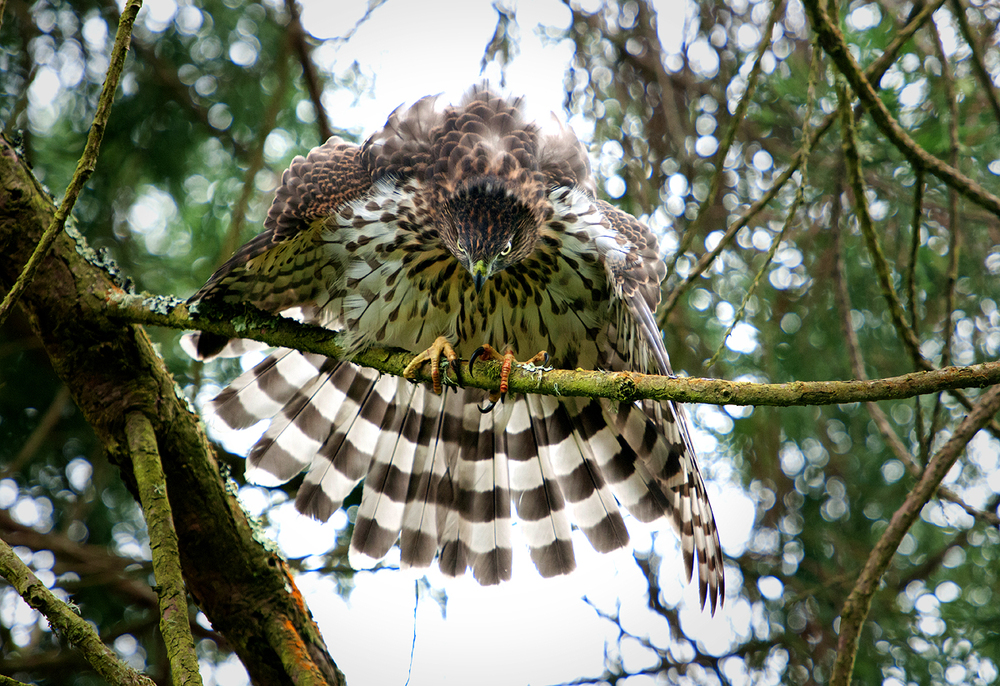A young female Cooper's Hawk mantling to show her displeasure at a sibling nearby.
