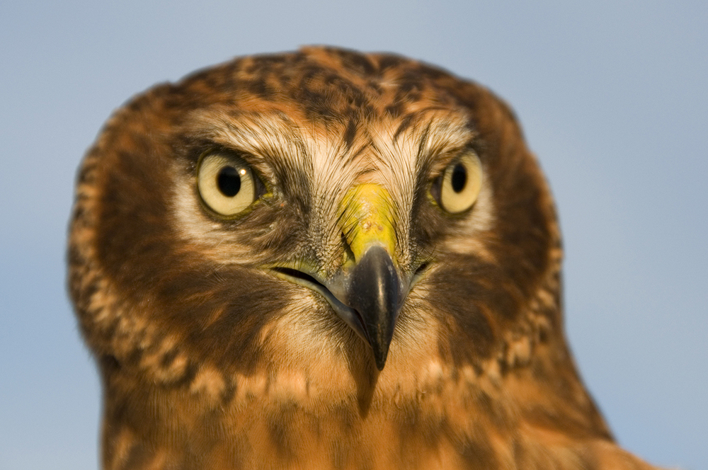 A young male Northern Harrier.