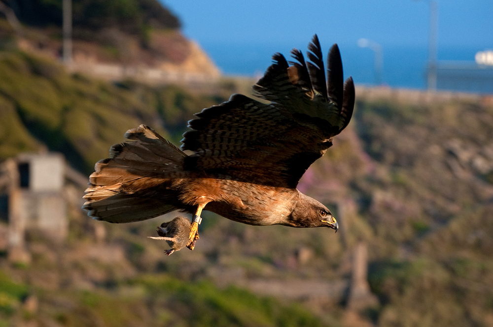 Carrying a gopher to his mate, a Red-tailed Hawk at eye level over Sutro Baths.