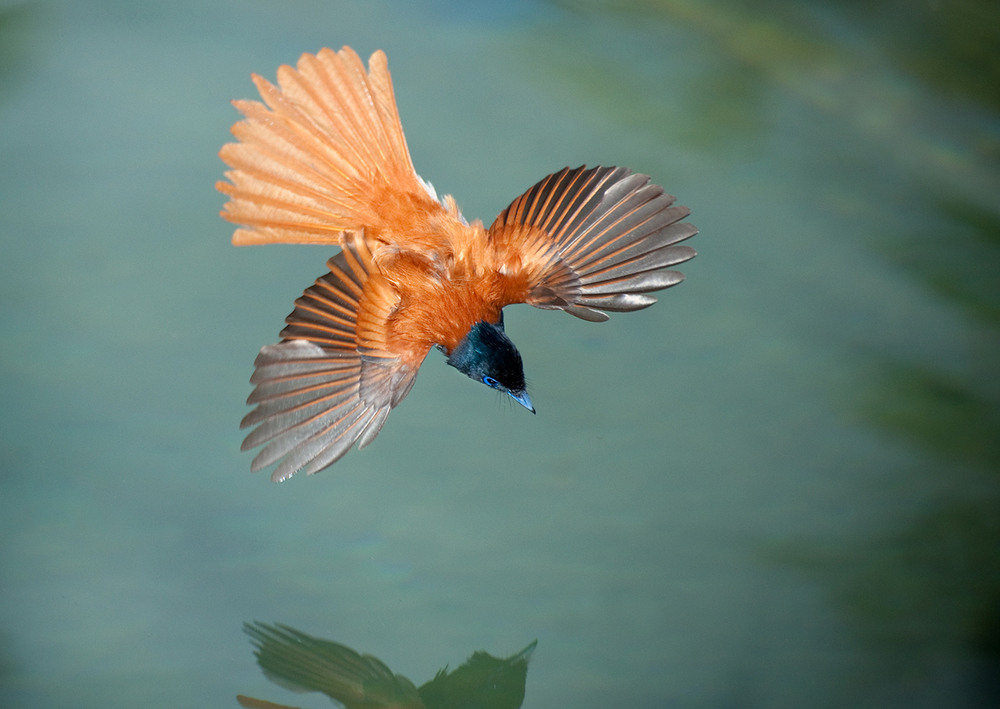 A Paradise Flycatcher takes a bath in a hotel swimming pool.