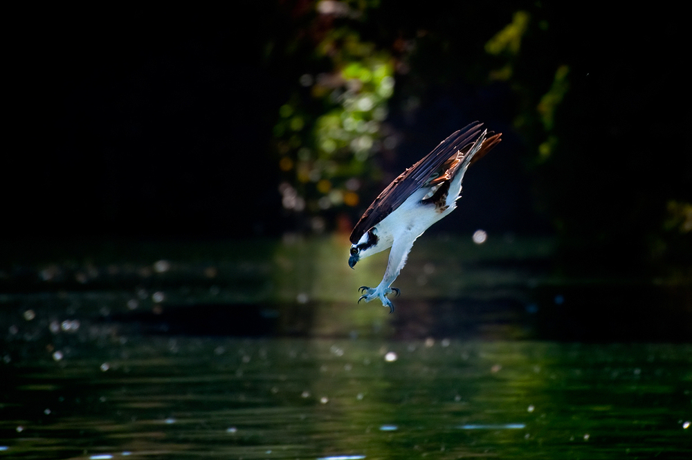An Osprey hunting in the Palace of Fine Arts Lagoon.