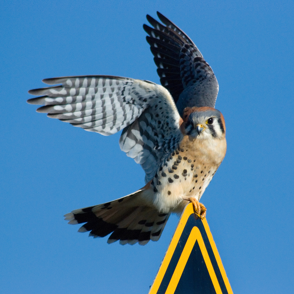 An American Kestrel surprised by traffic on Grizzly Island.