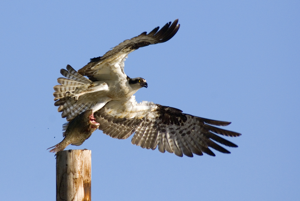 An Osprey departs with an unfinished meal at Bolinas Lagoon.