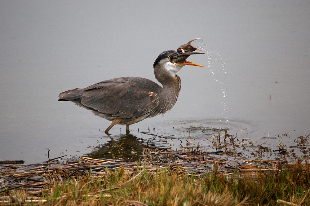 Gophers this large have to be dipped before swallowing. Great Blue Heron at Crissy Field.