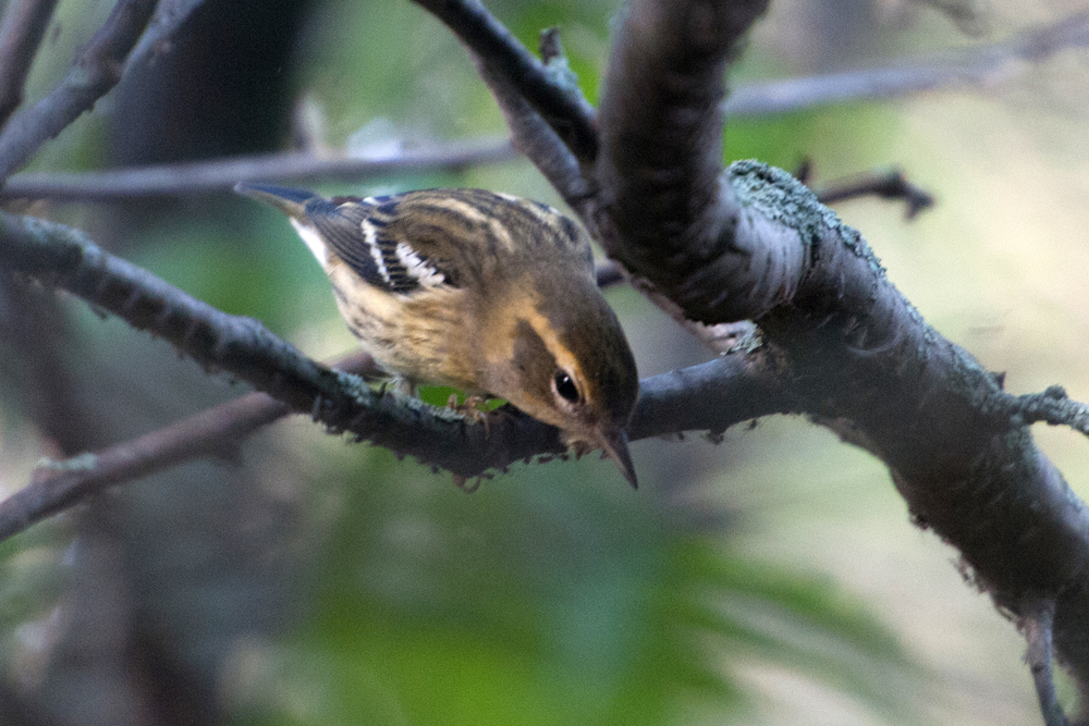 This photo shows the pale stripes on her back which are distinctive among warblers.